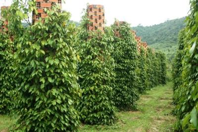 Plantação de pimenta preta