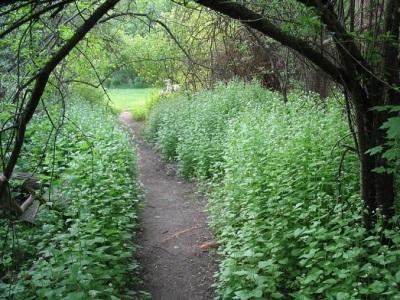 Dickichte des Knoblauchgrases im Wald