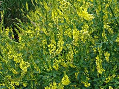 Мелилотът е не само лекарствено растение, но и за храна на животни и за възстановяване на почвата