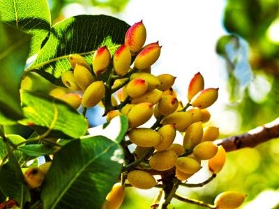 Buah-buahan Pistachio