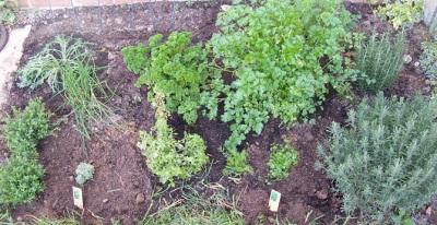 Crecimiento de perifollo en el jardín con otras hierbas