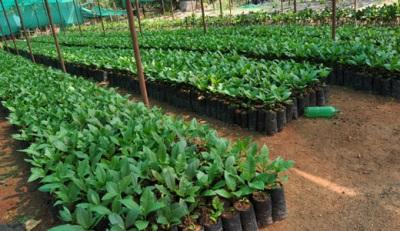 Indijas audzēšana