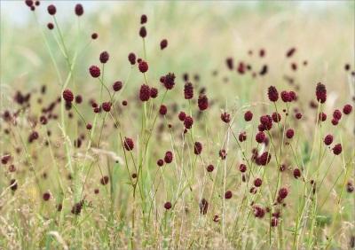 Burnetas - augalas be kvapo