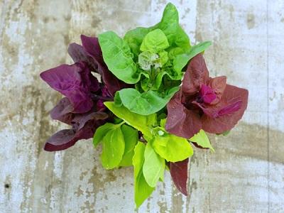 Vitamina hierba quinua