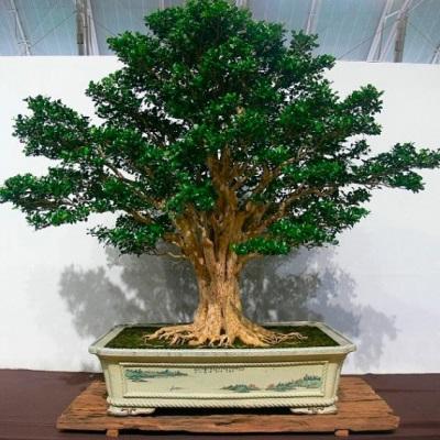 Murrayya, como planta ornamental