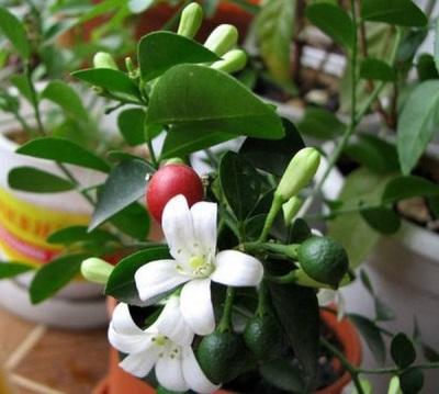 Muraya casa floresce e dá frutos ao mesmo tempo