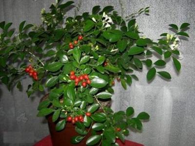 Murrayya paniculata