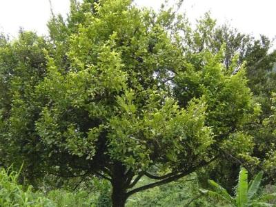 Albero di Muscadine con frutti
