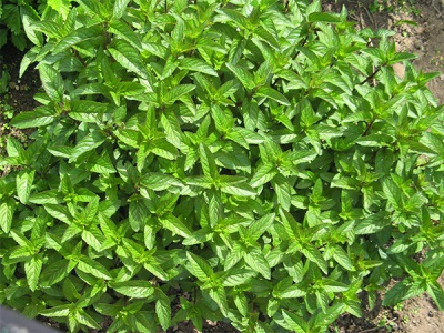 Arbusto de hortelã com jardim
