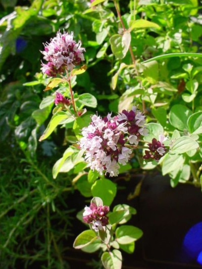 Orégano florescendo
