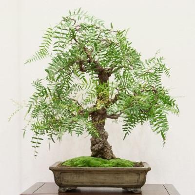 Cuidado bonsai