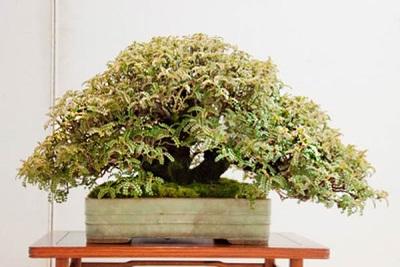 Árbol de pimienta bonsai