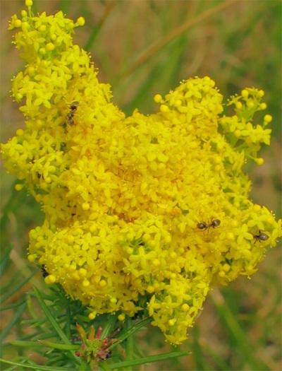 Bedstraw - méznövény