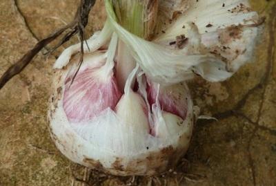 Bulbo de cebolla