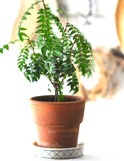 Árbol de pimiento creciente
