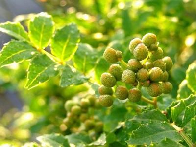 Árbol de pimienta - una especia japonesa antigua