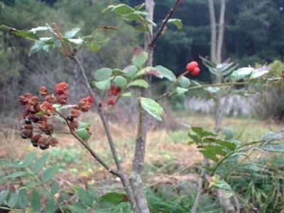 La patria del árbol de pimienta - Japón