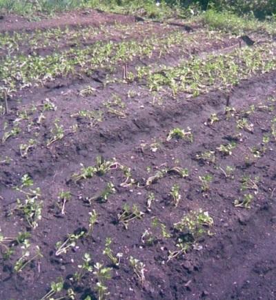 Plantar mudas de aipo