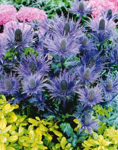 Eryngium с други цветове