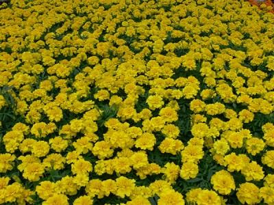 Marigold-kentät