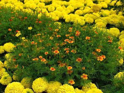 Eri lajikkeita marigolds puutarhassa