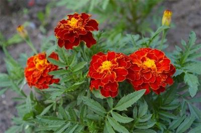 Marigolds tai Chernobrivtsy