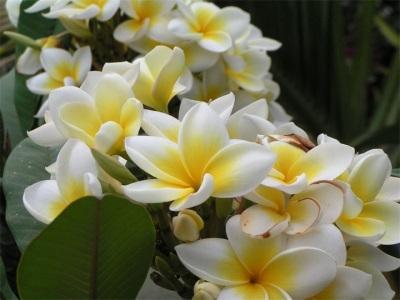 تزهر الفانيليا