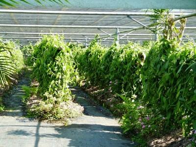 Φυτείες βανίλιας στη Ρεϊνιόν