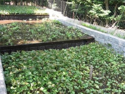 Wasabi crescente sem estufa
