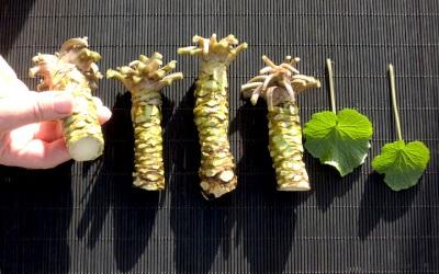 Folhas e raiz de wasabi