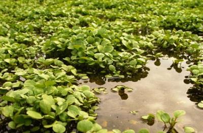 Sumpf Brunnenkresse