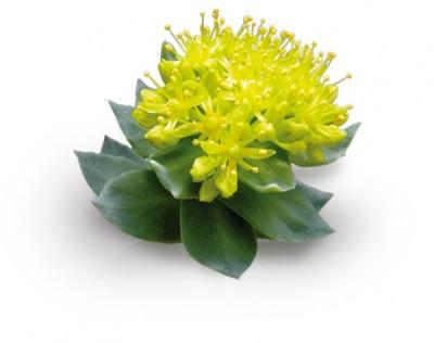 Nützliche Rhodiola Rosea