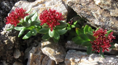 Rhodiola rosea in den Bergen
