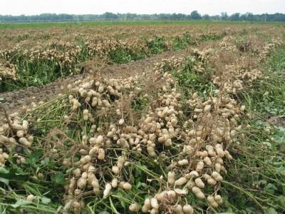 Žemės riešutai auginami visose plantacijose.