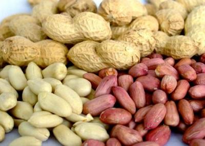 Sementes de amendoim são produzidas por plantação de feijão sob o solo