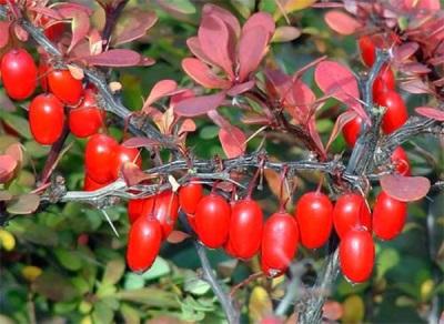 Ciri-ciri berguna barberry