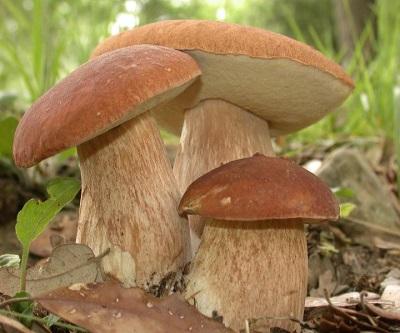 Biała rodzina grzybów