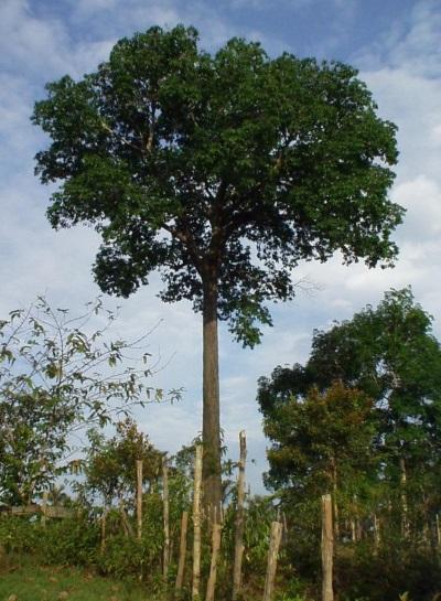 Бразилско орехово дърво