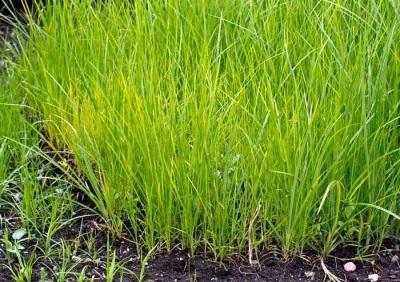 Chufa Pflanzenbüsche