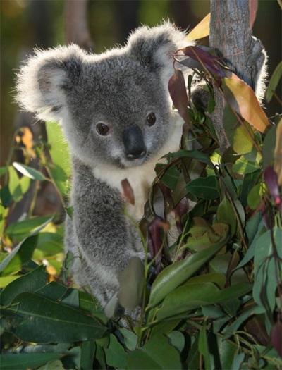 Eucalyptus dan Koala