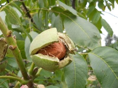 Fruta de nuez