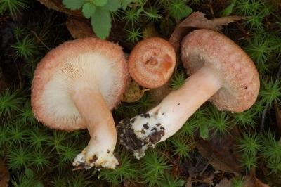 Perna de cogumelo Volushka