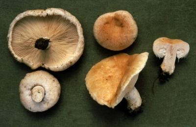 Volnushka contém muitas vitaminas e minerais