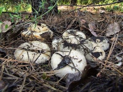 Milchpilze werden in Laub- und Mischwäldern in den nördlichen Regionen Russlands verbreitet.