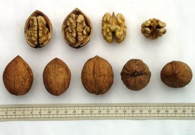 Selección de nueces para siembra.
