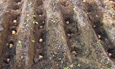Plantando semillas de nuez en el otoño