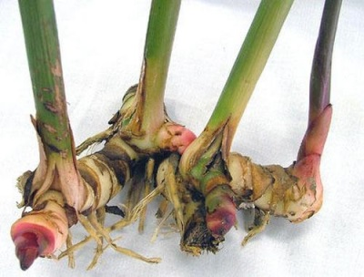 Kalogan Root