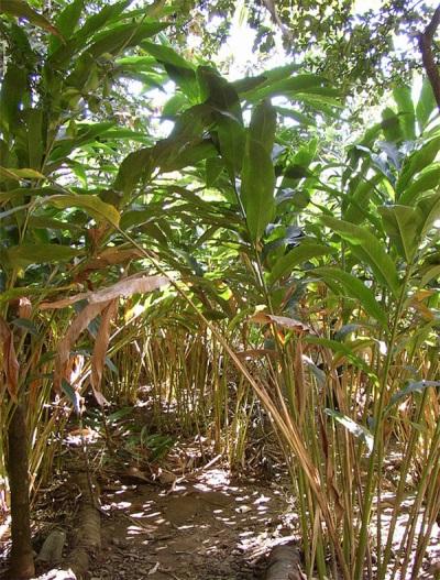 Plantaciones de cardamomo