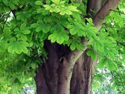 Дървесина от кестени