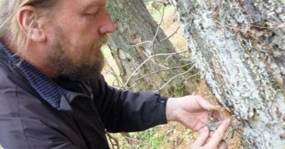 Coleção de goma de cedro à mão